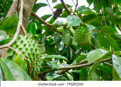 Young unripe Soursop (Annona Muricata) on a tree. Known to have medical benefits and healthy.