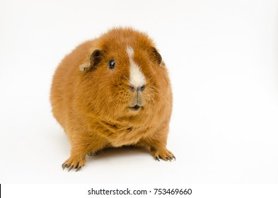 young US-teddy guinea pig, red haired