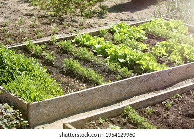 Young vegetables of carrot and arugula lettuce emerge from the fertile soil in the bedding box