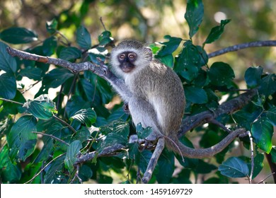 Young Vervet Monkey Cercopithecus aethiops sitting in a tree
