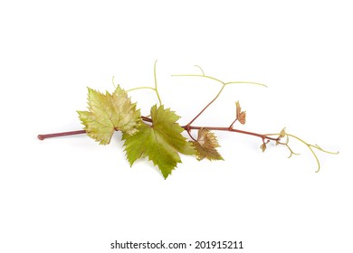 Young vine branch isolated on white background