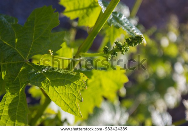 Young vine sprout with young bunch of grapes