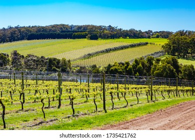 Young vines on a clear sunny day in the Mornington Peninsula, Victoria, Australia
