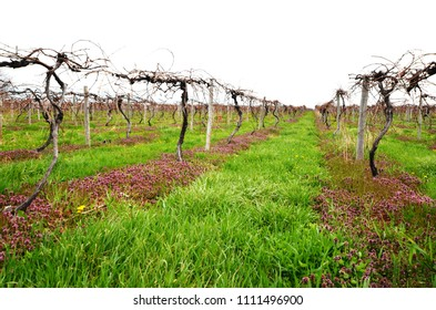 Young vineyard in the early Spring