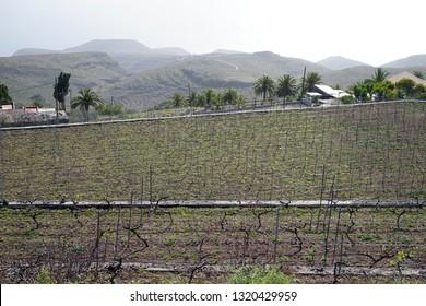 Young vineyard on the La Gomera island, Spain