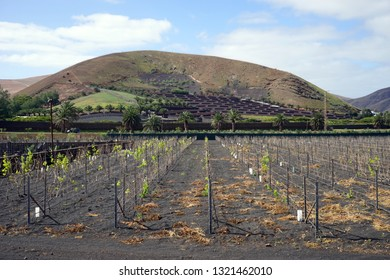 Young vineyard on the south part of Lancerote island, Spain