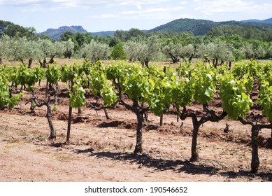 Young vineyard in Provence