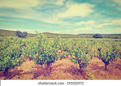 Young Vineyard in Southern France, Instagram Effect