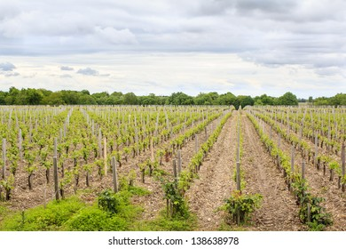 Young vineyard in the St-Emilion region, France
