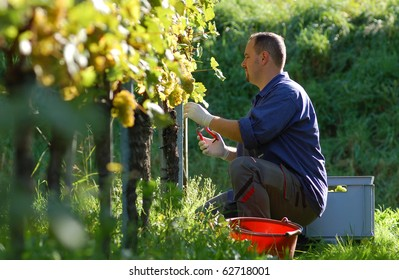 Young vintner is harvesting white grape in the vineyard by sunny wheather