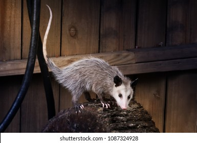 Young  Virginia opossum (Didelphis virginiana) on a log near the fence. Night Scene. Texas, United States