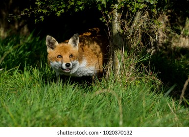 Young vixen fox leaning out from under a tree