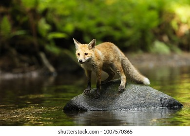 Young vixen of red fox staying in river - Vulpes vulpes