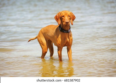 Young vizsla having fun in the water