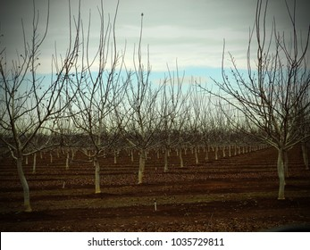 Young Walnut orchard bare in winter.  Chico, California agriculture.