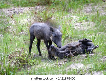 Young Warthog siblings playing in the grass in Africa