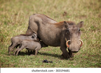 Young warthogs with their mother