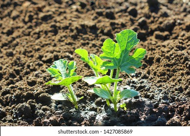 young watermelon seedlings growing on the vegetable bed .