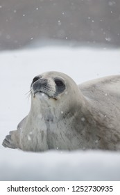 A young Weddell Seal lies on an iceberg in the snow near Deception Island, Antarctic Peninsula, Antarctica