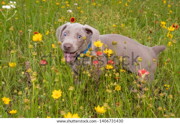 Young Weimaraner puppy in colorful wildflowers with a comical look on his face as he is bouncing around