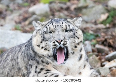 Young and well camouflaged Himalayan Snow Leopard yawns with a funny expression