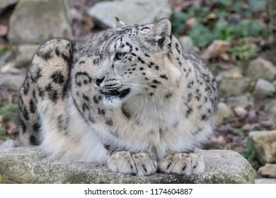 Young and well camouflaged Himalayan Snow Leopard waiting for its prey