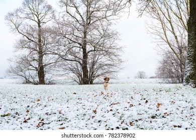 Young Welsh Springer Spaniel sniffing in the first winter snow in the park