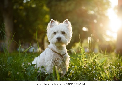 Young West Highland Terrier sitting in the green grass during the sunset.