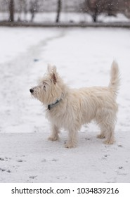 Young west highland white terrier in a snow