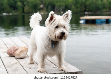 Young west highland white terrier - westie