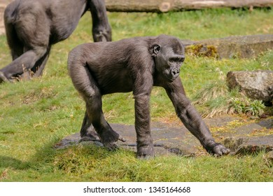 The young western lowland gorilla is walking in the semi-free park.