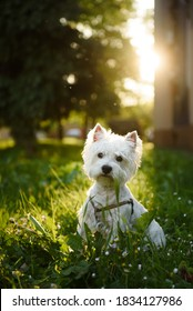 Young Westie dog sitting on grass