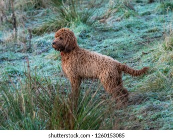 A young wet and muddy cockapoo in a  frosty field watching for other walkers in the field
