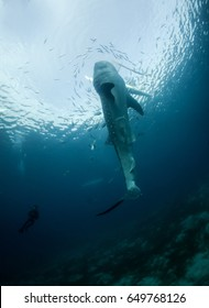 A young whale shark vertical in the water being fed by a fisherman in Oslob.