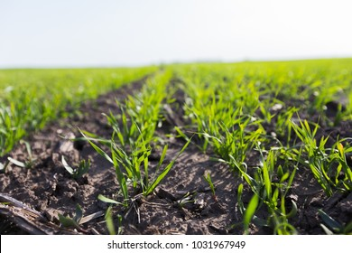 Young wheat crop in a field. Crops of winter wheat. Rows of young sprouts of wheat. Green grass on the field.