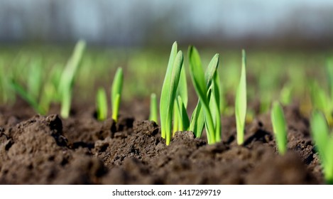Young wheat or grass seedlings growing in a soil on the filed. Closeup