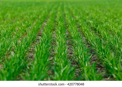 Young wheat growing in the field neat rows