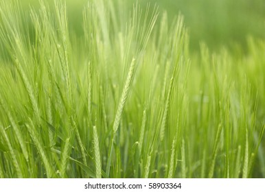 Young wheat on the field