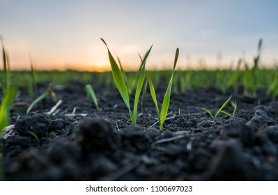 Young wheat seedlings growing in a field. Green wheat growing in soil. Close up on sprouting rye agricultural on a field in sunset. Sprouts of rye