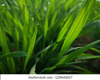 Young wheat seedlings growing in a field.