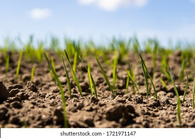 Young wheat seedlings growing on a field in a black soil. Spring green wheat grows in soil. Close up on sprouting rye on a agriculture field in a sunny day. Sprouts of rye. Agriculture.