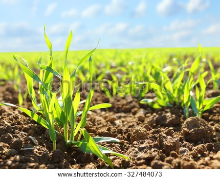 young wheat seedlings growing soil stock photo edit now 327484073