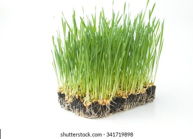 young wheat sprouts on a white background
