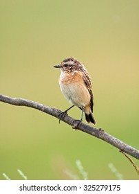 Young a whinchat on a branch with a beautiful background
