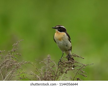 The young whinchat (Saxicola rubetra)