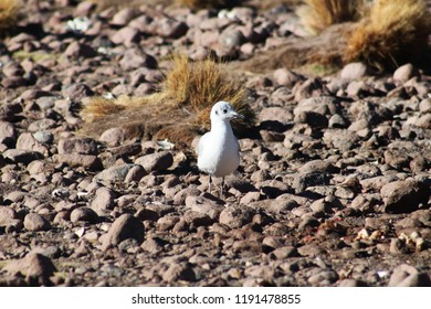 Young white andean sea gull between rocks, High altitude, Andes Mountains, Bolivia