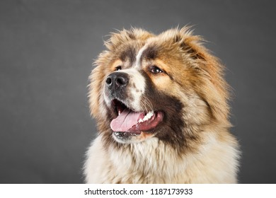 Young white brown Caucasian Shepherd Dog in studio. Female dog