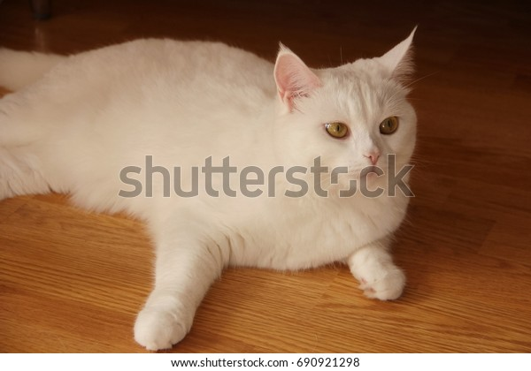 young-white-cat-british-breed-600w-69092