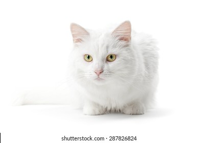 Young white cat isolated on a white background
