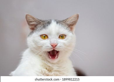 Young white cat with open mouth and signs of aggression